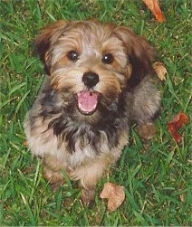 Topdown view of a black and brown Yorkipoo dog that is sitting in a field. It is looking up, its mouth is open and it looks like it is smiling. It has wide round dark eyes and a black nose.