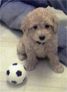 A small tan Yorkipoo puppy is sitting on a white tiled floor and to the left of it is a soccer ball.