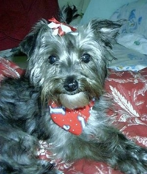 Close up - The right side of a black and gray Yorkipoo that is wearing a bone bandana and a ribbon on its head. It is laying across a pillow. It looks like it has a smile on its face, its nose is black and its eyes are wide and round. It has small ears with one ear hanging down and the other sticking out to the side.