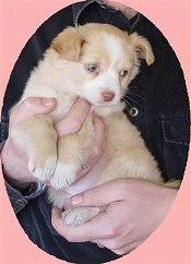 The left side of a small tan with white Alopekis puppy in the arms of a person