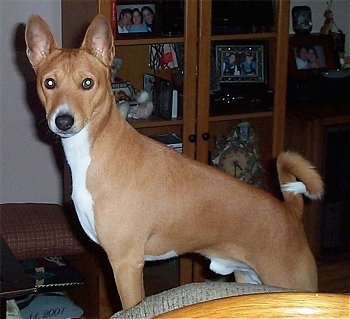 Benji the Basenji standing on a couch