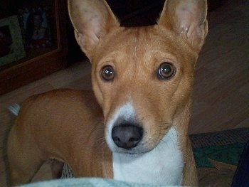 Close Up - Benji the Basenji's face