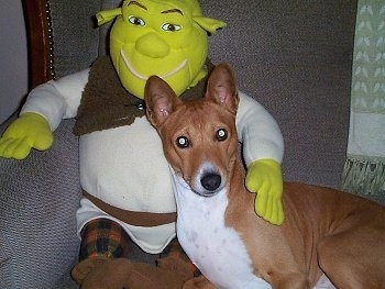 Benji the Basenji laying in a couch with a Shrek doll