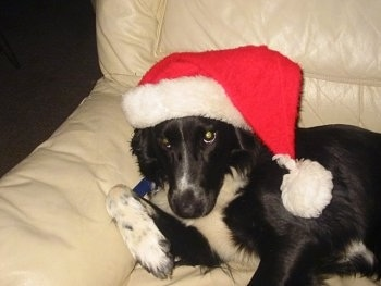 Chloe the Border Collie laying on a couch wearing a Christmas hat