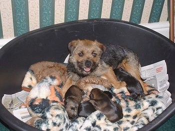 Border Terrier dog with her little once (puppies)