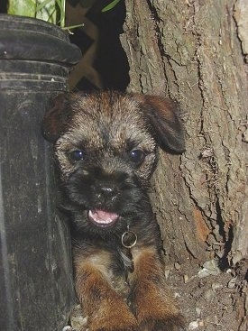Border Terrier dog stuck