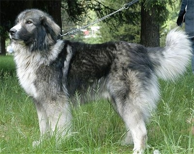 The left side of a thick-coated, black with grey and white Carpathian Sheepdog standing in tall grass looking to the left.