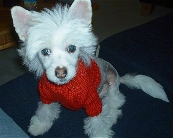 Harry the Chinese Crested puppy is sitting on a rug in a red sweater