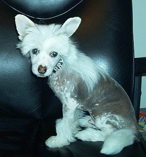 Harry the Chinese Crested puppy is sitting in a black leather chair