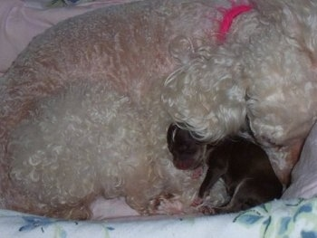 Oreo the newborn Chi-Poo puppy is sleeping in a dog bed with her mother Lacy who is a white toy poodle