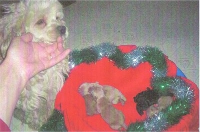 Lacy the Cockapoo is looking down at a litter of Cockapoo puppies in a red blanket with green and silver Christmas garland around the edge of the blanket