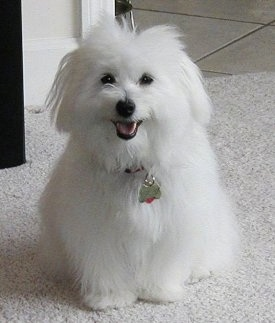 Hershey the pure white Coton de Tulear puppy is sitting on a carpet. His mouth is open and it looks like he is smiling