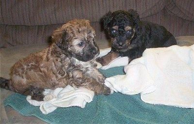 Two Crestepoo puppies are sitting on a green towel and a white towel on top of a couch