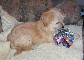 A Chinese Crestepoo Puppy is laying on a rug with a rope toy in front of it