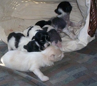 A Litter of Chinese Crestese puppies crawling in and around a wicker basket