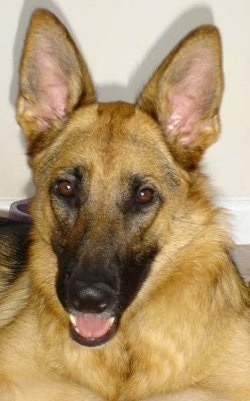 Close Up head shot - A black and tan German Shepherd is laying in front of a white wall