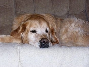A graying Golden Retriever is sleeping on a tan couch