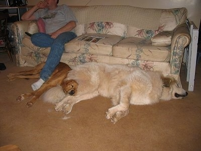 A Golden Retriever/Border Collie Mix is sleeping on the backside of a large white and tan Great Pyrenees. They are laying in front of a couch with a person sitting on it.