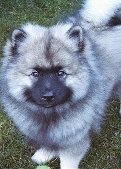 A fluffy Keeshond puppy is standing outside in grass and it is looking up