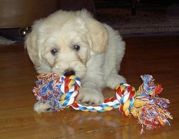A small tan Labradoodle puppy is laying on a hardwood floor and playing with a rope toy