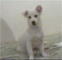 A short-haired white Lowchen puppy is sitting on a carpet. It is looking down and to the left.