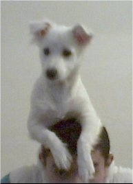 A short-haired white Lowchen puppy is laying on the head of a person.