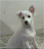 A short-haired white Lowchen puppy is sitting on a rug and looking back. One of its ears is flopped over.