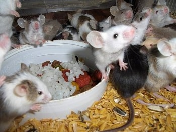 A mischief of mice in various colors are standing around a bowl of rice and some of them are looking up and others are looking back.
