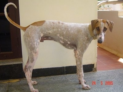 Mudhol Hound is standing in front of a wall and looking towards the camera holder