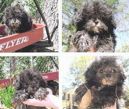 A collage of photos that include a fluffy, black Peek-A-Poo puppy. There are pictures of a the puppy in a persons hand and on a radio flyer wagon.