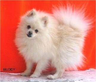 Left Profile - A cream colored Pomeranian is standing on a concrete surface and its head is tilted to the right. There is a red wall behind it.