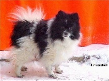 Side view - A black and white Pomeranian is standing across snow and it is looking forward. There is a red wall behind it. It has longer hair on its tail that is curled up over its back.