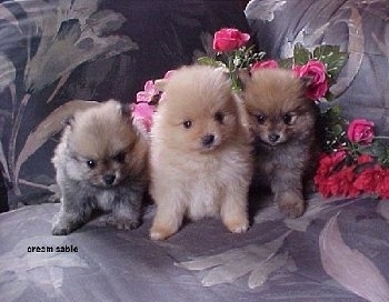 Three small fluffy Pomeranian Puppies are sitting on a couch and they are looking forward. There are pink and red flowers to the right and behind them.