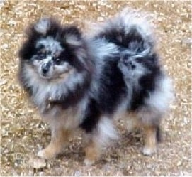 The left side of a blue merle Pomeranian that is standing across brown grass and it is looking forward.