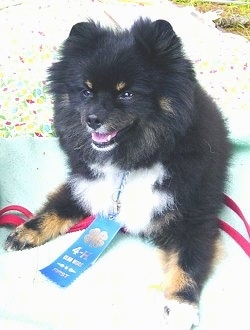 Front view - A fluffy black with tan and white Pomeranian dog is laying on a bed and it is looking to the left. It is wearing a blue ribbon.