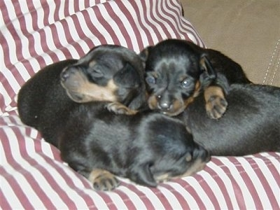 Three tiny black with tan Prazsky Krysarik puppies are sleeping in a pile on a peppermint stripped cushion.