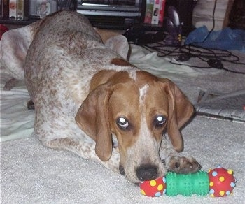 Purdie the English Coonhound is laying on a towel and a carpet  chewing on a red, yellow and green dog toy. There is two Playstation 2 and a Nintendo 64 controller behind it. There is a newspaper to the right of it