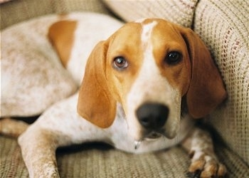 English Coonhound (Redtick Coonhound)