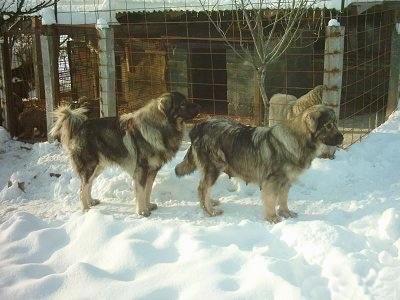 Sar Planina Dog For Sale