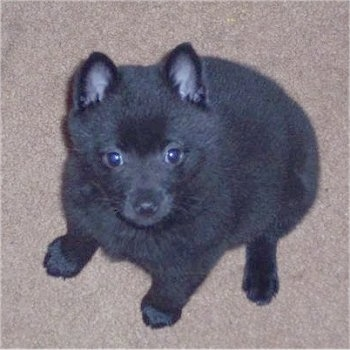 Top down view of a fuzzy black Schipperke puppy that it is sitting on a carpet and it is looking up.