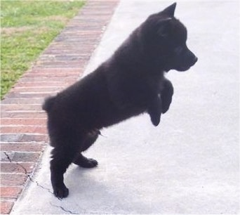 The right side of a small perk eared black Schipperke puppy that is preparing to bounce on a sidewalk. Both of its front paws are off of the ground.