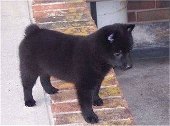 The right side of a black Schipperke puppy that is standing on a brick step and it is looking over the edge. The dog has small perk pointy ears and a bob tail.