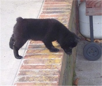 The right side of a black Schipperke puppy is looking over the edge of a brick step. The dog has a tiny nub of a tail and small pointy ears.