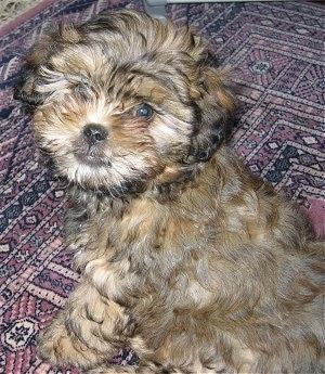 Shih  Puppies on Shih Poo  Shih Tzu Poodle Hybrid Dogs  Shih Poos