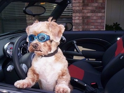 A shaved brown with white Shih-Poo is jumped up against the drivers side door of a conertible vehicle. The dog is wearing a pair of blue goggle glasses and it is looking to the left.