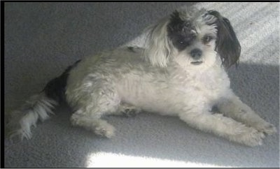 The right side of a shaved white with black Shih-Poo that is laying across a carpet and looking forward. It has longer hair on its ears and tail.