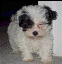 Close up front view - A fluffy little white with black Shih-Poo puppy is walking through a doorway and it is looking down.