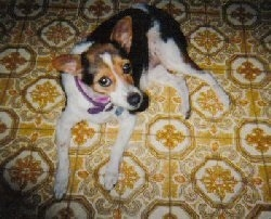 A white and black with tan Smooth Fox Terrier is laying across a tiled floor, it is looking up and its head is facing the right. It has perk ears.