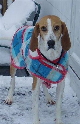 Front view - A white and red with black Treeing Walker Coonhound is wearing a jacket and it is standing in snow on a porch and it is looking forward. The dog has long drop ears that hang down to the sides, a black nose and large round brown eyes.