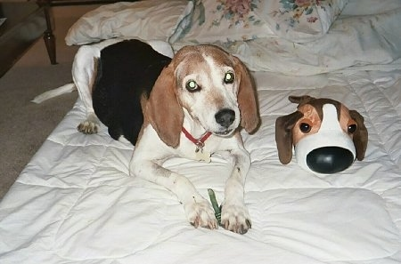 A white with black and brown Treeing Walker Coonhound is laying on a bed and to the right of it is a plush dog toy with a large head and large nose. The toy looks like the dog.
